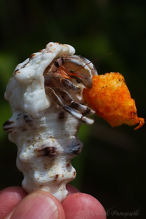 A hermit crab enjoys the bounty of fast food snack.