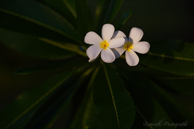 Fragrant Frangipani trees can be found everywhere.