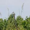 A beautiful Pied Kingfisher