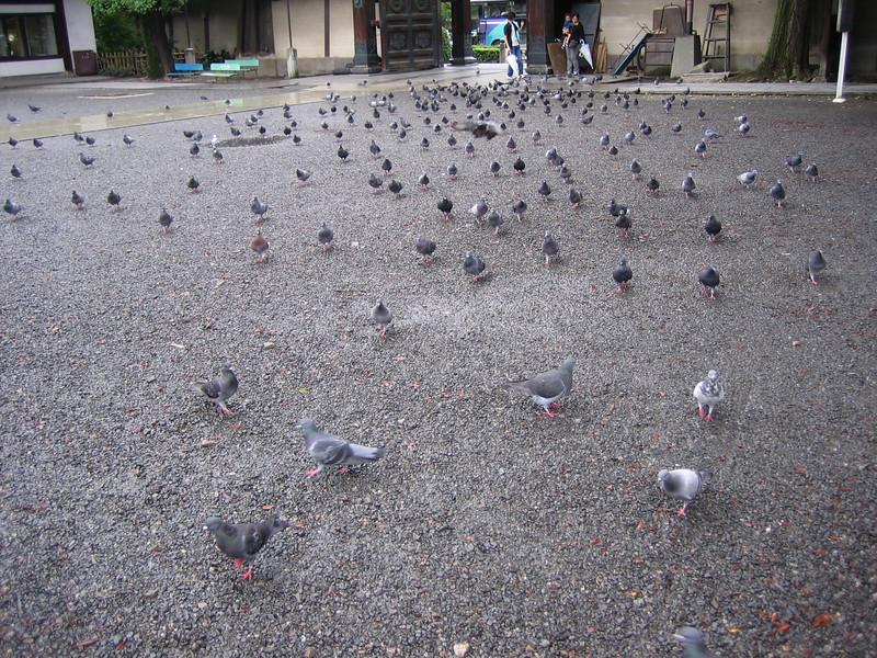 Pigeon Stampede!