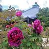 Peonies at Otokuni-dera