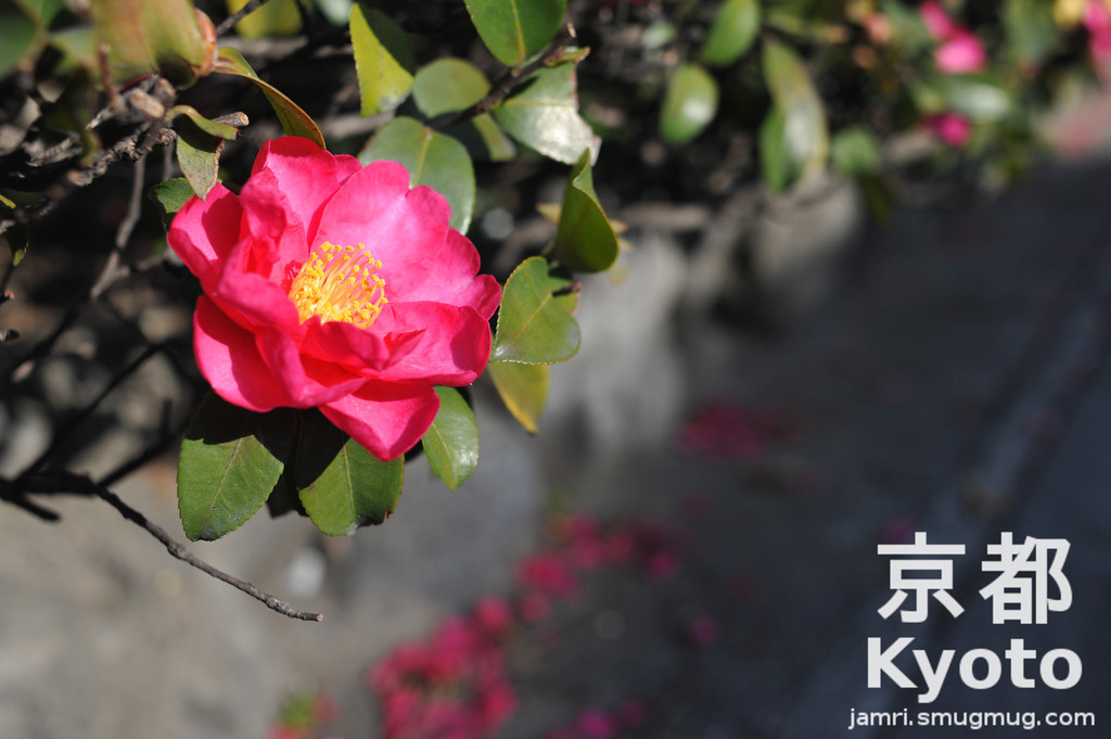 December's Flower is Camellia