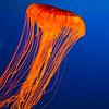 Jellyfish at Osaka Aquarium Kaiyukan (about 35 miniutes from Kyoto)