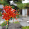 Saga Chrysanthemum