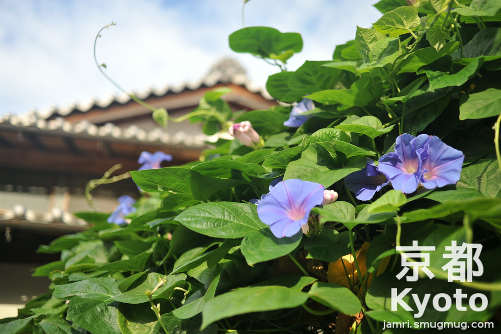 August's Flower is the Morning Glory