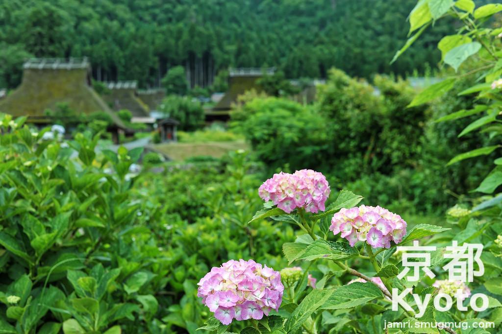 Hydrangeas in Miyama