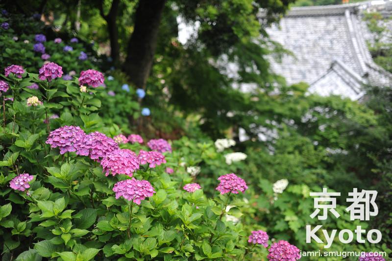 Hydrangeas at Yokoku-ji