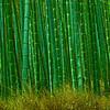 bamboo forest-Arashima