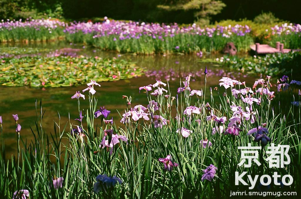 Irises at Heian-jingu