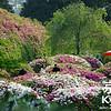 Azaleas at Mimuroto-ji