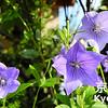September's Flower is the Japanese Bellflower