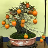 Bonsai with Persimmons