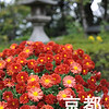 November's Flower is Chrysanthemum