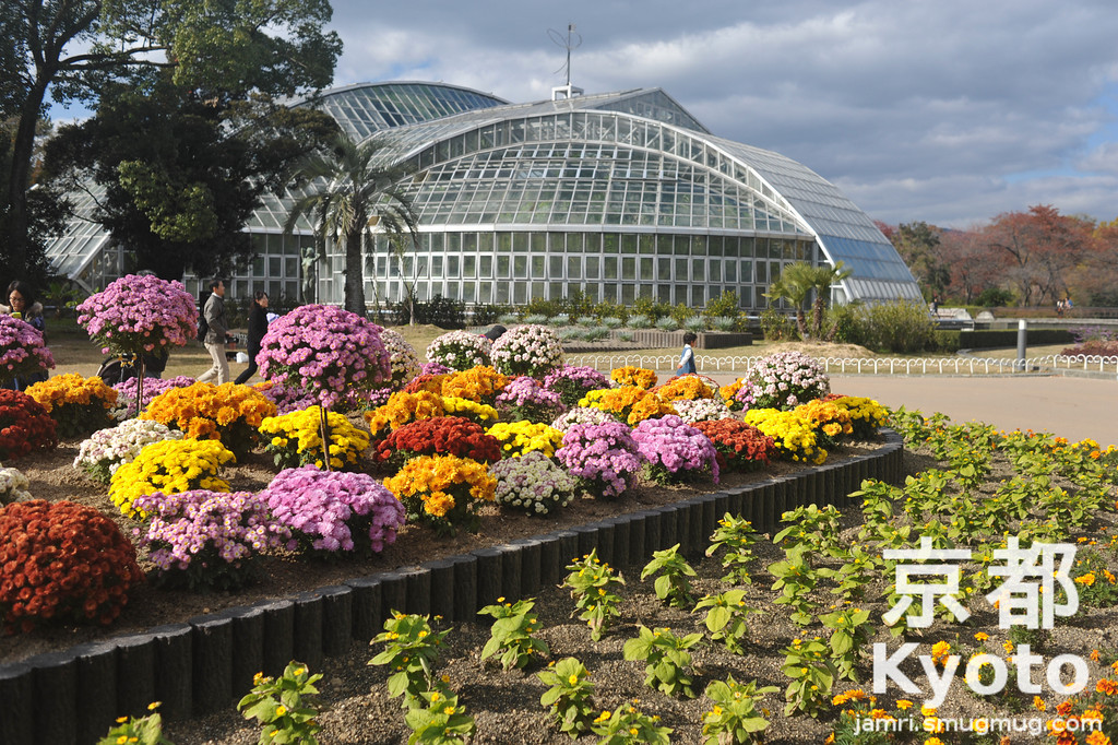Chrysanthemums at the Kyoto Botanical Gardens