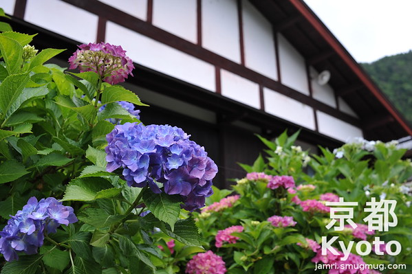 Hydrangeas and Traditional House