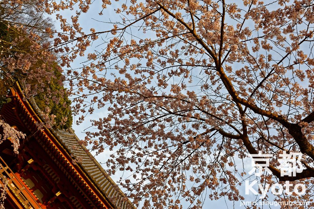 Sakura at Daigo-ji