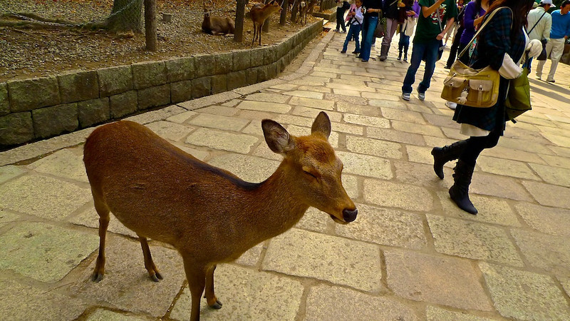 Deer at Nara park taking an afternoon nap