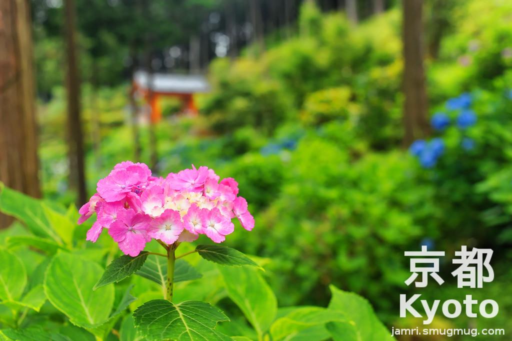 Hot Pink Hydrangea