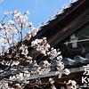 April's Flower is the Sakura