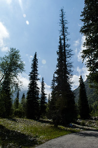 Asian Spruce