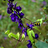 Karakol Aconite with Wild Grape Vine and Bumblebee