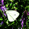 White Butterfly on Vetch