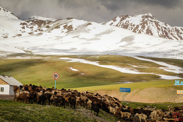 Transhumance at high altitude, Kyrgyzstan 4