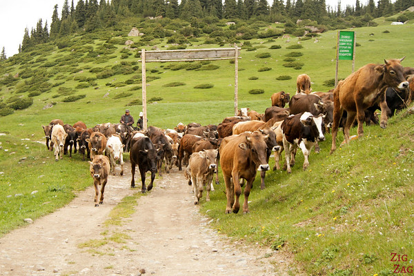 Cows: Transhumance in a green valley, Kyrgyzstan 3