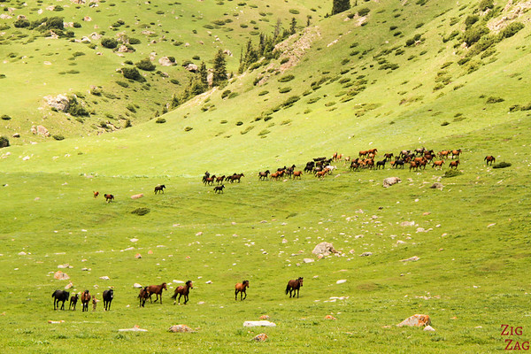 Horses: Transhumance in a green valley, Kyrgyzstan 2