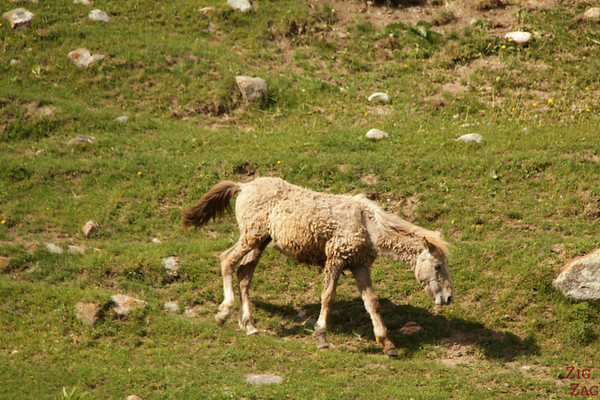 sheep horse at the Valley of flowers, Kyrgzystan