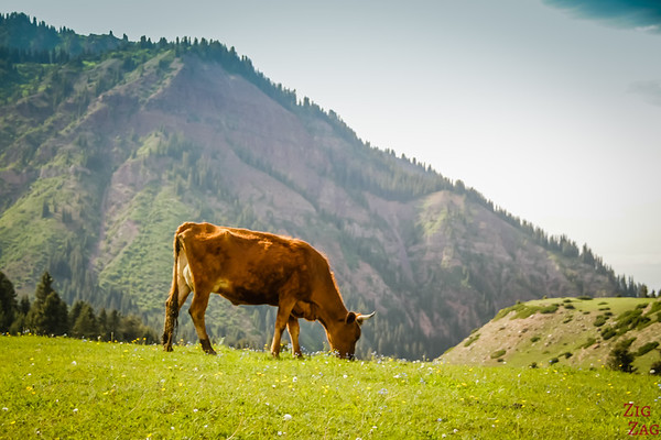 cow at the Valley of flowers, Kyrgzystan