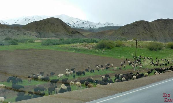 Transhumance on side roads, Kyrgyzstan 2