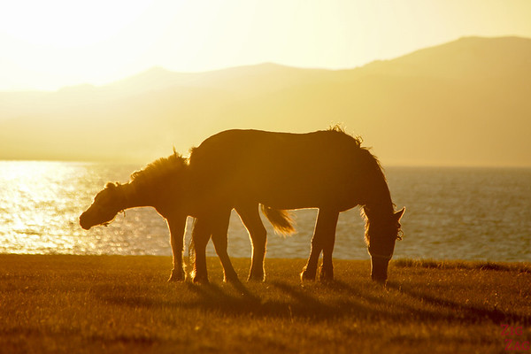 horses at Sunset,  Song Kul lake, Kyrgyzstan 2