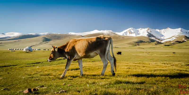 Cow at summer pasture, Song Kul Lake, Kyrgzystan