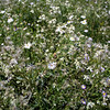 Chinese White Clematis and Daisies