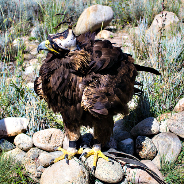 Golden Eagle with custom-made hood