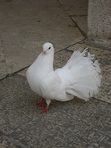 This Dove was incredible look how he gave me the perfect pose for a photograph !!!! Montecassino, Italy