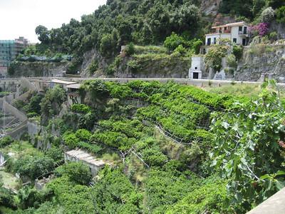 Growing Lemons on the Amalfi Coast, Italy