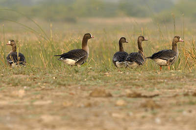Rarity - Greater and the Lesser White Fronted Geese.... ( the one with the yellow ring around the eye is the Lesser one )
