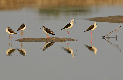 Black winged Stilts...