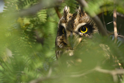 The eyes - Short eared Owl...