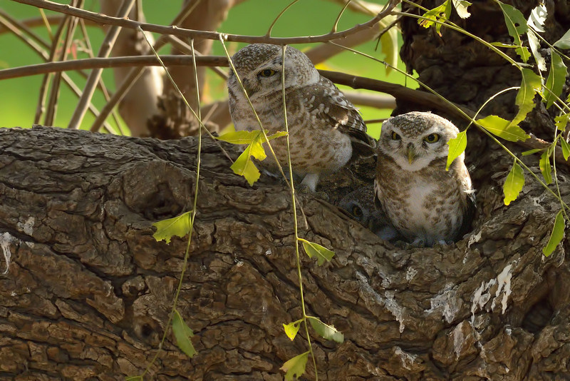 Awesome threesome - Spotted Owlets...