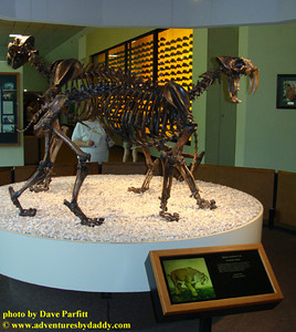 Saber-toothed cat (Smilodon fatalis)