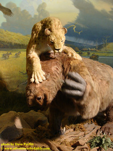 Saber-tooth cat attacks a ground sloth