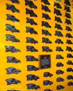 dire wolf (Canis dirus) skulls