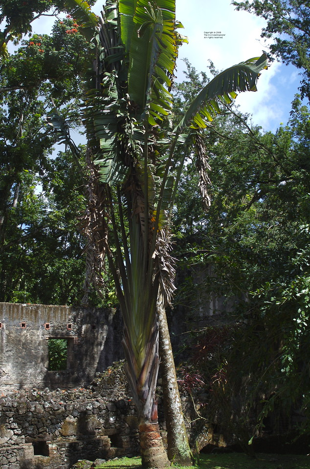 A palm tree near the ruins of the sugar refinery.