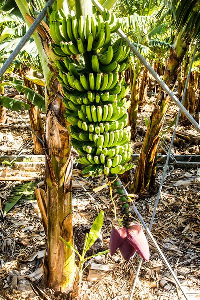 La Palma, Canary Islands<br /> Banana Plant