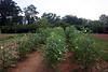 10 calloway victory garden okra