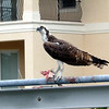 A junior osprey having lunch out on the dock.