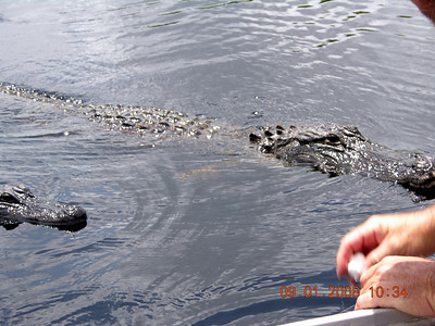 Wave a marshmallow around and up come moma and popa alligator looking for food.